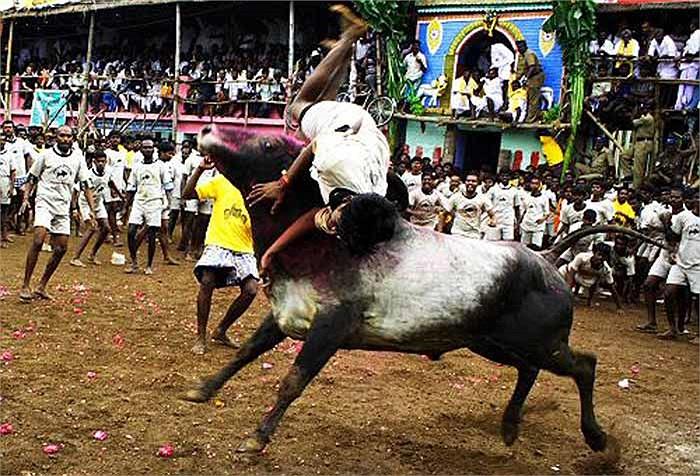 Những người tham gia sẽ vận dụng sức mạnh và sự khéo léo của mình để khống chế con bò đực đủ lâu theo quy định nhằm giành lấy những khoản thưởng được đưa ra từ trước.