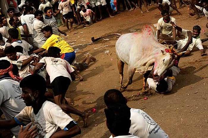 Người dân địa phương, đặc biệt là thanh niên rất ưa thích trò chơi mạo hiểm này, họ thường tập trung rất đông để cổ vũ các cuộc thi.