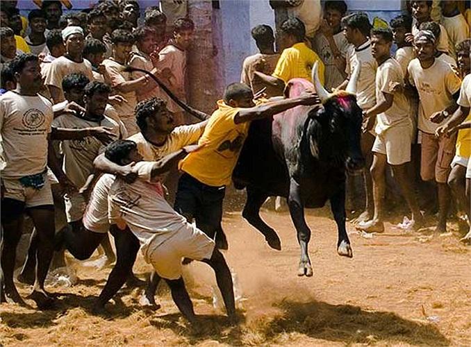 Chính vì vậy mà việc sứt đầu mẻ trán diễn ra như cơm bữa, con bò đực đang giận dữ có thể hất văng 3-4 người đàn ông một cách dễ dàng.