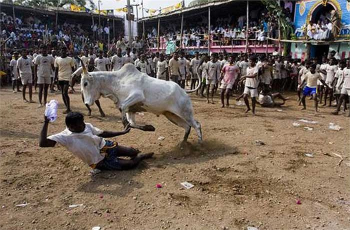 Các đấu sỹ thường tìm cách nắm lấy cái bướu của con bò rồi leo lên lưng hoặc đè nó xuống.