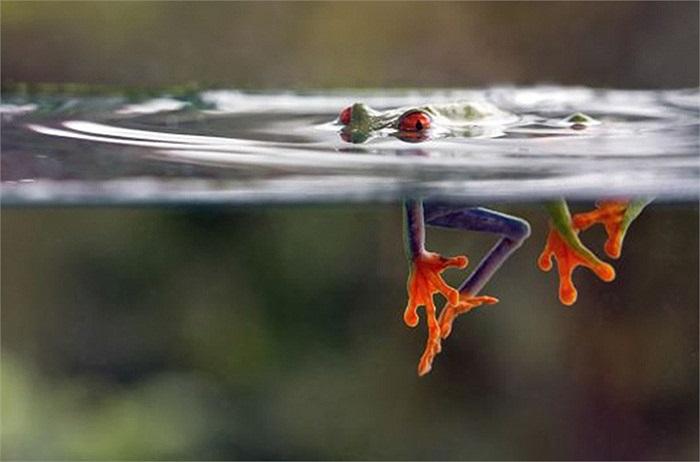 Hình ảnh chú ếch cây tuyệt đẹp này bơi dưới nước được chụp ở khu vực gần núi lửa Arenal, tỉnh Guanacaste (Costa Rica).