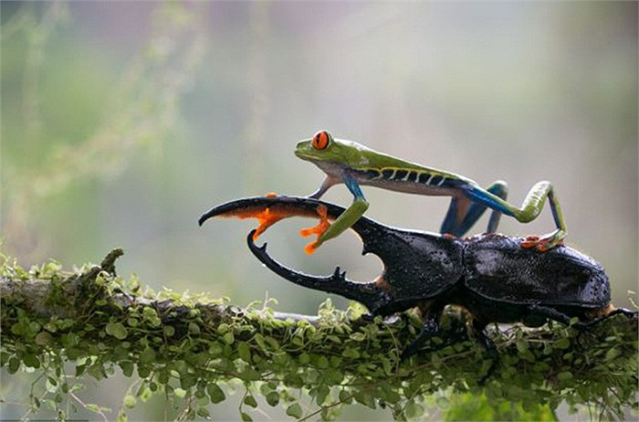Ếch cây mắt đỏ nổi tiếng là nhút nhát nhưng dường như loài vật này đang cố chứng minh điều ngược lại khi leo lên đầu lên cổ một chú bọ cánh cứng