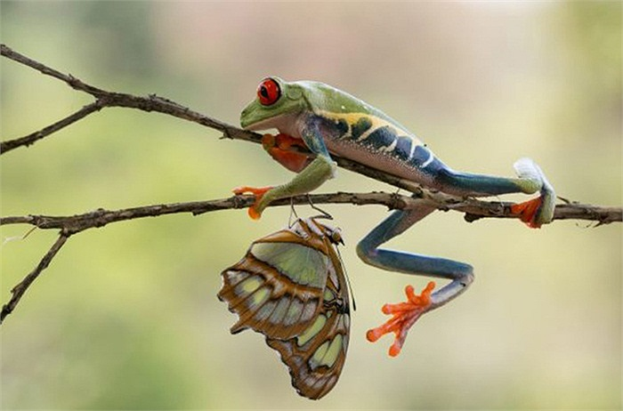 Thân hình có lớp da màu xanh giúp cho đôi mắt đỏ của ếch cây ngụy trang thành màu của cây cỏ, che mắt côn trùng và những động vật săn mồi ăn thịt