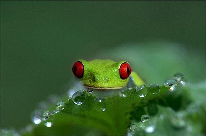 Tứ chi của ếch cây mắt đỏ có màu cam hoặc vàng và có đôi mắt ba mí.