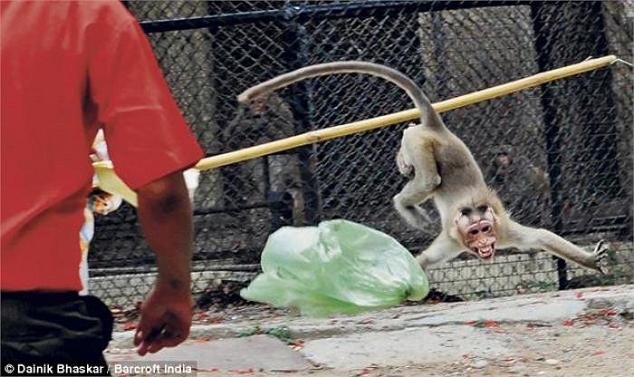Hậu quả, cậu bé nhập viện khẩn cấp trong tình trạng thương tích đầy mình. Được biết, tình trạng khỉ tấn công người và đột nhập vào nhà dân đang xuất hiện ngày càng nhiều tại Ấn Độ.