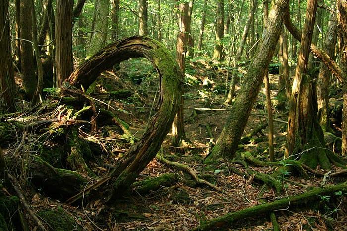 Cánh rừng này toàn là đá. Những thân cây bám vào đá mọc lên, với những bộ rễ vằn vện, bám vào đá. Trong rừng hoàn toàn không có thú, không có tiếng chim. Khung cảnh tĩnh mịch càng hấp dẫn những người muốn chết.