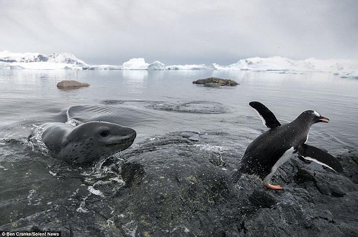 Con hải cẩu rượt đuổi chim cánh cụt suốt 3 giờ đồng hồ ở đảo Cuverville, Nam Cực, nằm ở phía Nam Argentina