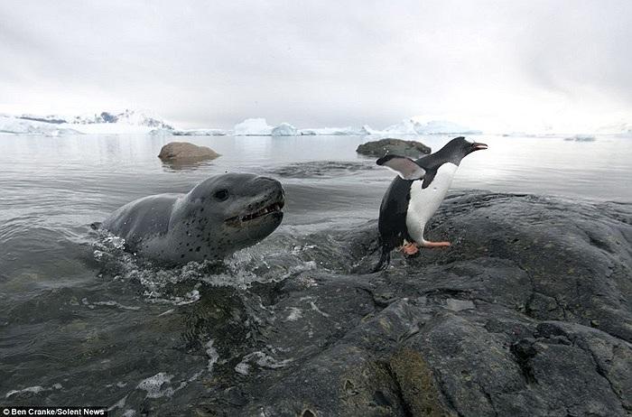 Chim cánh cụt vội vã thoát thân