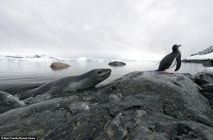 Chim cánh cụt đã leo lên mỏm đá