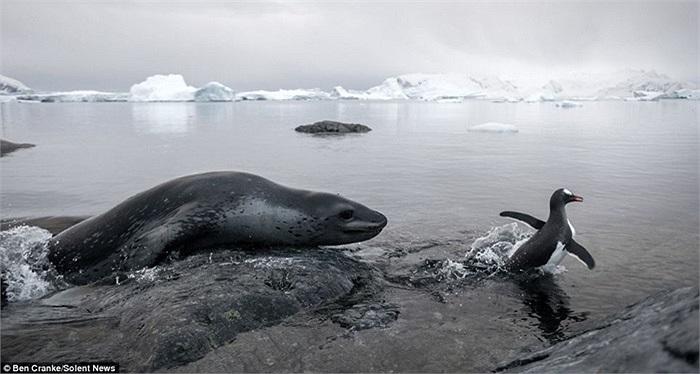 Hải cẩu nằm dài nhìn miếng mồi ngon chạy thoát trong tích tắc