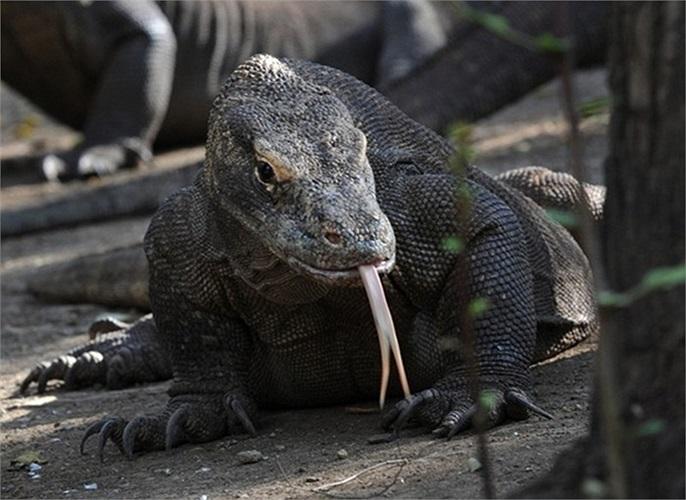 Rồng Komodo là loài thằn lằn nặng nhất và lớn nhất trong số những loài còn tồn tại trên Trái đất