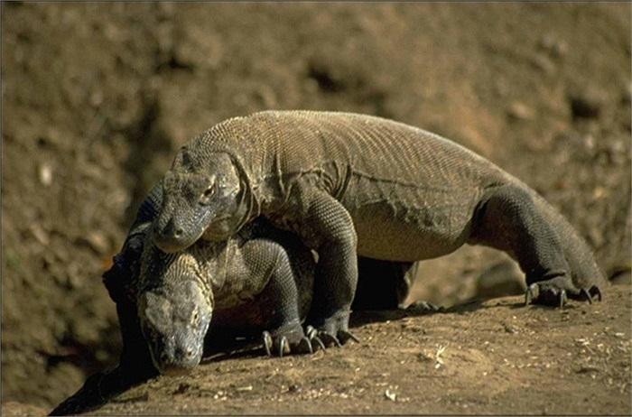 Nó có thể dài tới hơn 3 mét, nặng 166 kg và là kẻ săn mồi kinh hoàng đối với nhiều con vật