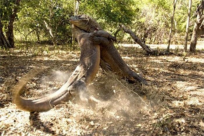 Rồng Komodo là loài ăn thịt đồng loại nhưng chúng lại có khả năng tự miễn dịch với những vết thương do đồng loại cắn