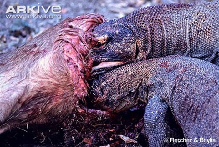 Thịt đang phân huỷ là món ăn khoái khẩu của rồng Komodo
