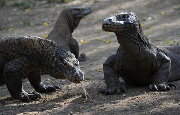 Lưỡi của rồng Komodo rất dài, có thể lên tới 10 cm và chiếc lưỡi lợi hại này có thể xác định xác chết thối cách xa từ 4-10 km