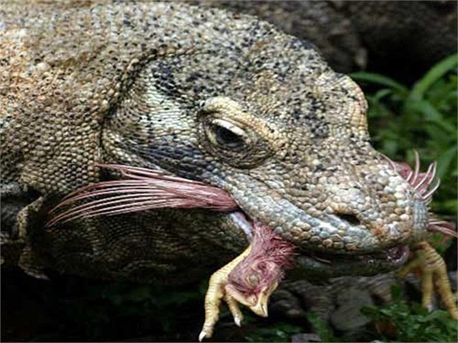 Do thuộc loài động vật máu lạnh nên rồng Komodo có quá trình trao đổi chất khá chậm
