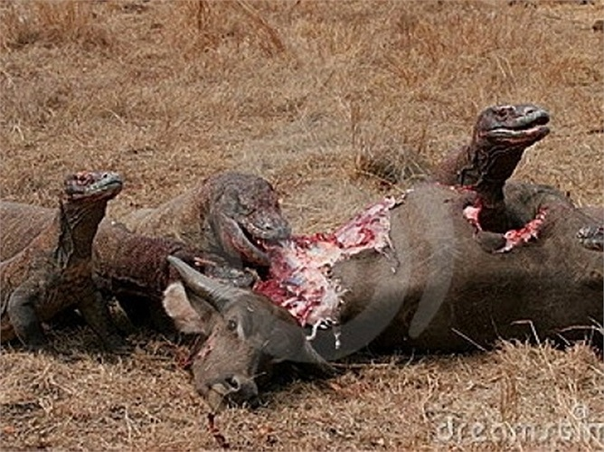 Rồng Komodo thường mất từ 3-5 năm để trưởng thành và có thể sinh sản khi 8-9 tuổi. Loài này có thường có tuổi thọ 30 năm nhưng cũng có con có thể sống tới 50 năm