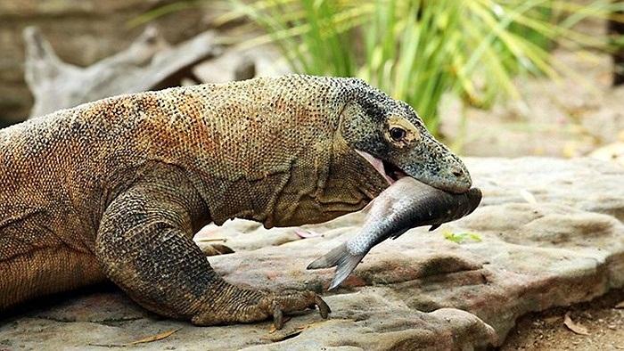 Hiện nay, trên thế giới chỉ còn khoảng 3.500 cá thể rồng Komodo, sinh sống chủ yếu ở vườn quốc gia Indonesia, nơi có khí hậu vô cùng thuận lợi cho sự sinh sản và phát triển của loài