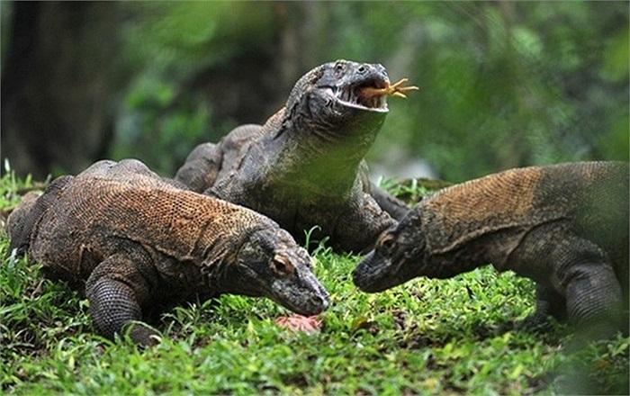 Các nhà khoa học đã tìm thấy hoá thạch của loài rồng Komodo sống cách đây 19.000 năm với kích thước lớn gấp 2 lần loài Komodo ngày nay