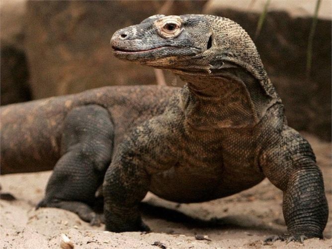 Rồng Komodo là kẻ săn mồi chuyên nghiệp và chúng là kẻ thù của các loài, từ nhỏ như con chuột cho đến lớn như con trâu