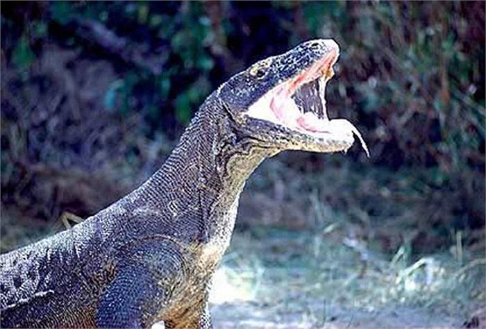 Rồng Komodo săn mồi bằng cách cắn và 'tiêm' chất độc vào cơ thể con mồi. Vì thân hình cồng kềnh nên sau đó, chúng sẽ để con mồi bỏ chạy