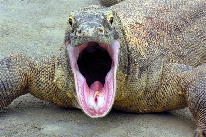 Mặc dù không có răng chắc như cá sấu hay sư tử, nhưng chúng lại có dịch tiêu hóa giống như loài rắn để tiêu thụ được cả những thứ cứng chắc như xương