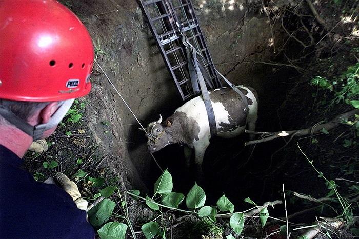 Chiếc hố sâu 5m đã nuốt cả một con bò