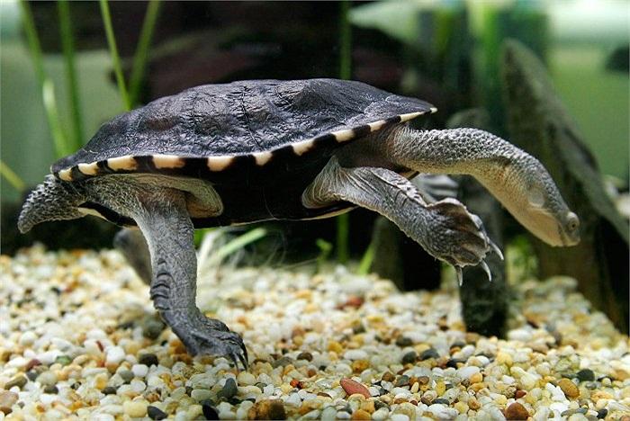 Tại Australia, loài rùa có cổ dài hình rắn với tên gọi là Chelodina longicollis sống ở các khu vực nước ngọt