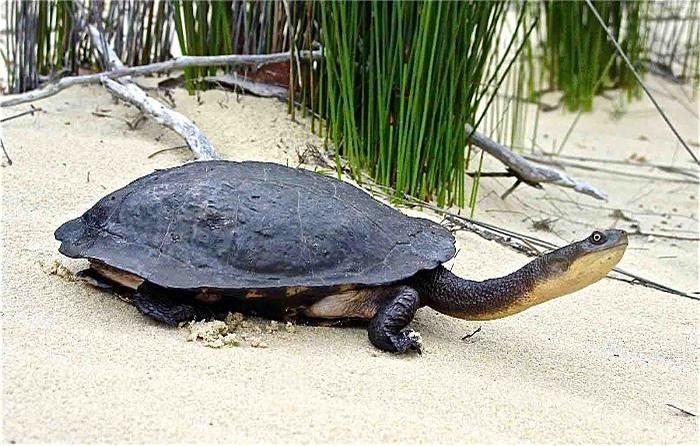 Không chỉ có cái cổ dài có thể vươn ra xa mà loài rùa này còn có đôi chân chắc chắn, khỏe để vừa đi trên cạn vừa bơi dưới nước