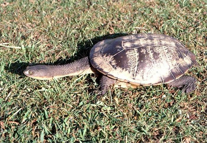 Đôi chân khỏe còn là vũ khí lợi hại để loài rùa này giữ và ăn con mồi
