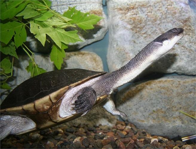 Không chỉ có tên rùa cổ rắn mà chúng còn có tên 'rùa hôi'. Bởi lẽ, loài rùa này có vũ khí là mùi hôi để phát ra khi kẻ thù xuất hiện