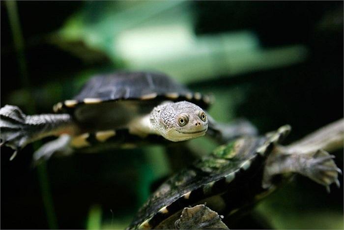 Chúng chủ yếu ăn ếch, côn trùng, nòng nọc trong khu vực nước ngọt. Nhìn từ xa cổ của nó không khác gì rắn