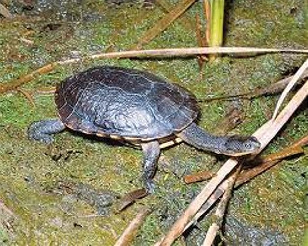 Loài rùa này có mai khá rộng, phía dưới đôi chân khỏe để chúng có thể đào đất
