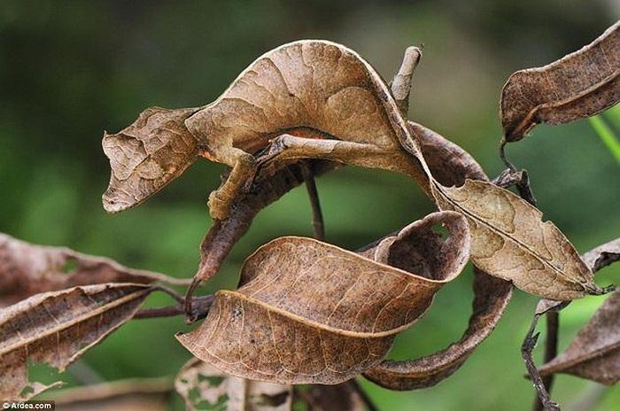 Tắc kè lá: Thường xuất hiện tại Madagasca, loài sinh vật này có thể tự hóa trang thành những chiếc lá khô nhìn y như thật.