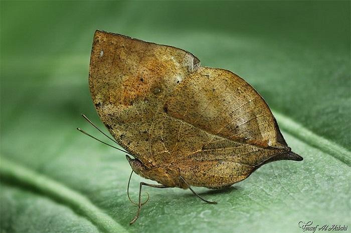 Bướm lá khô: Tập trung chủ yếu ở vùng nhiệt đới Châu Á, hình dạng của chúng không khác gì những chiếc lá khô, thậm chí còn có cả lỗ như những chiếc lá thật ở trên cánh.