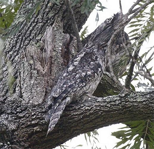 Cú mỏ quặp: Là động vật sinh sống về đêm vì vậy ban ngày loài cú này thường ngụy trang bằng bộ lông mang màu sắc giống với các loại   cây như trên.