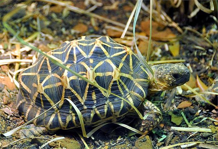 Rùa sao Ấn Độ (Geochelone elegans) là loài rùa xuất xứ từ những vùng khô cằn và rừng cây bụi ở Ấn Độ và Sri Lanka.