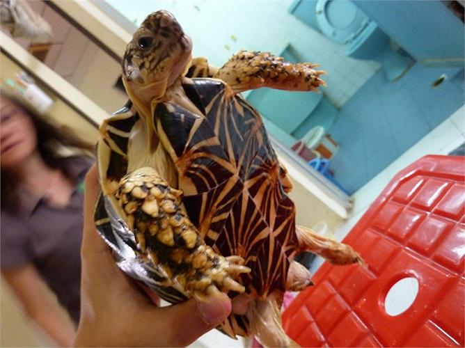 Đó cũng là lý do khiến rùa sao Ấn Độ được nhân nuôi rộng rãi tại nhiều quốc gia để bán làm vật cưng.