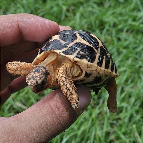 Khi mới nở, mai rùa sao Ấn Độ khá nhẵn. Càng lớn, mai của chúng càng gồ ghề.