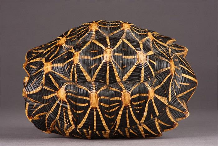 Cũng như nhiều loài rùa sống trên cạn khác, chiếc mai gồ cao giúp rùa sao Ấn Độ dễ dàng lấy lại tư thế cũ nếu chẳng may bị lật úp.