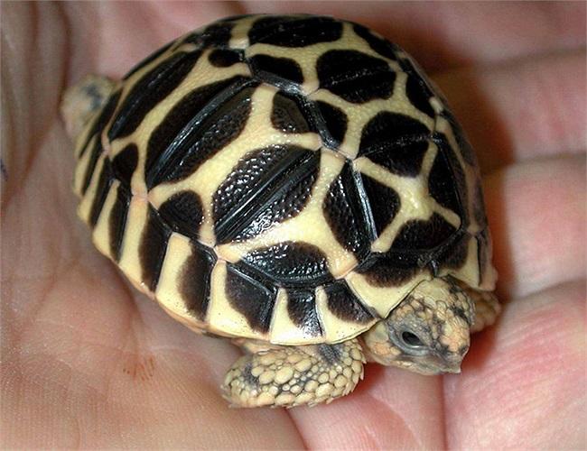 """Những năm gần đây, loài rùa này đã được nhập vào Việt Nam. Chúng có giá khá """"chát"""", khoảng 1 triệu đồng cho một chú rùa nhỏ cỡ 5, 6cm. Rùa càng có kích thước lớn, giá càng cao."""