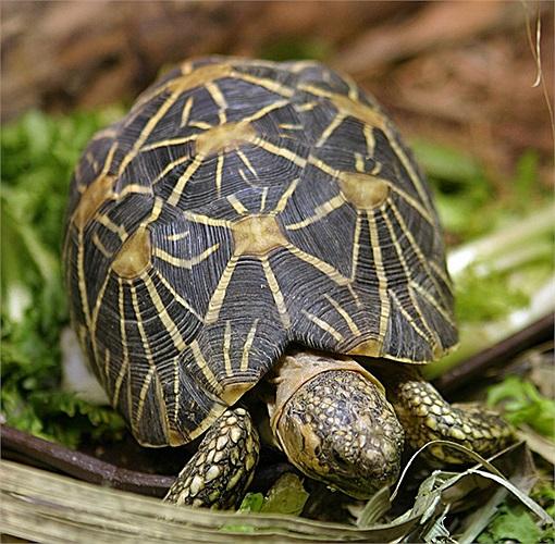 Trong điều kiện nhân tạo, việc nuôi rùa sao Ấn Độ khá khó khăn vì chúng đòi hỏi nhiệt độ cao và chế độ ăn uống tuân theo các quy tắc nghiêm ngặt.