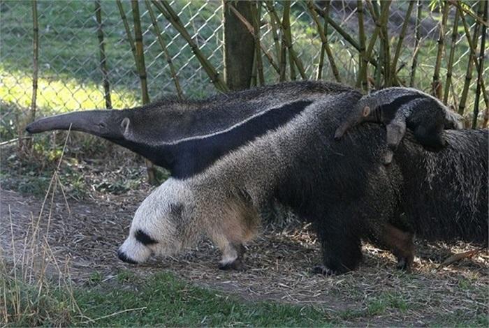 Loài thú ăn kiến khổng lồ có thể được tìm thấy nhiều ở rừng nhiệt đới hay đồng cỏ