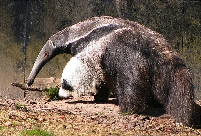 Loài thú ăn kiến có đôi chân giống hệt con gấu trúc