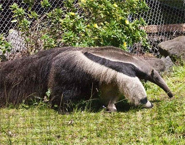 Hai chân trước của nó có màu trắng và đốm đen khiến người ta liên tưởng ra con gấu trúc