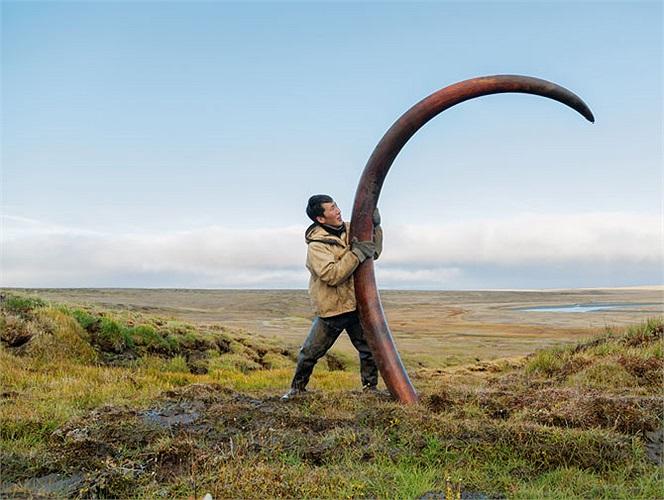Sau hàng ngàn năm được bảo quản tự nhiên nhờ cái lạnh dưới lòng sông Siberia băng giá, chiếc ngà voi ma-nút nguyên sơ này sẽ đem lại một khoản thu nhập khổng lồ cho người tìm ra nó.