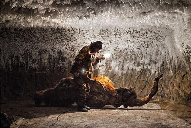 Thời cổ đại, những thợ săn với giáo mác thô sơ đã giết chết rất nhiều voi ma-mút lông đen để lấy thịt. Họ bỏ lại xương, da và cả những cặp ngà khổng lồ của chúng. Trong ảnh là xác ướp gần như hoàn hảo được tìm thấy ở làng Yukagir.