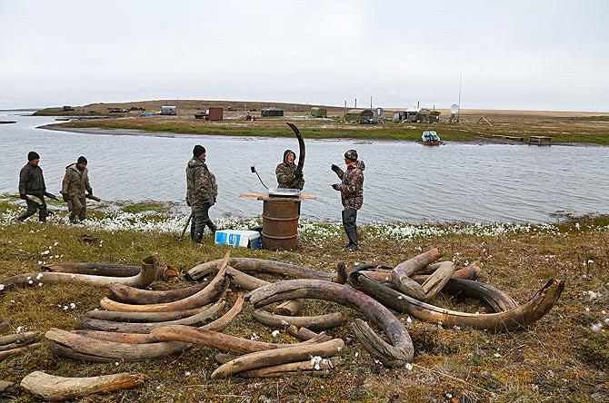 Vào cuối mùa hè, những người đàn ông Yakutiyan sẽ tập kết chiến lợi phẩm của mình ở phía Bắc hồ Bustakh để cân đo. Số ngà này sẽ được bán cho người môi giới tại làng Kazachye với giá khoảng 50-250 đô-la cho mỗi pound - tương đương 454 gram.