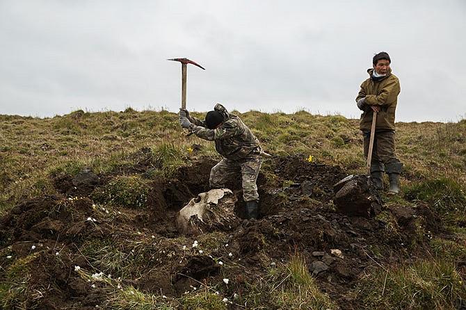 Ruslan Garipov và Petr Vanin đang đào một hộp sọ khổng lồ giữa vùng lãnh nguyên trên đảo Bolshoy Lyakhovskiy. Hộp sọ voi ma-mút có giá trị rất thấp, tuy nhiên họ hy vọng nó sẽ đi kèm với cặp ngà có giá trị.