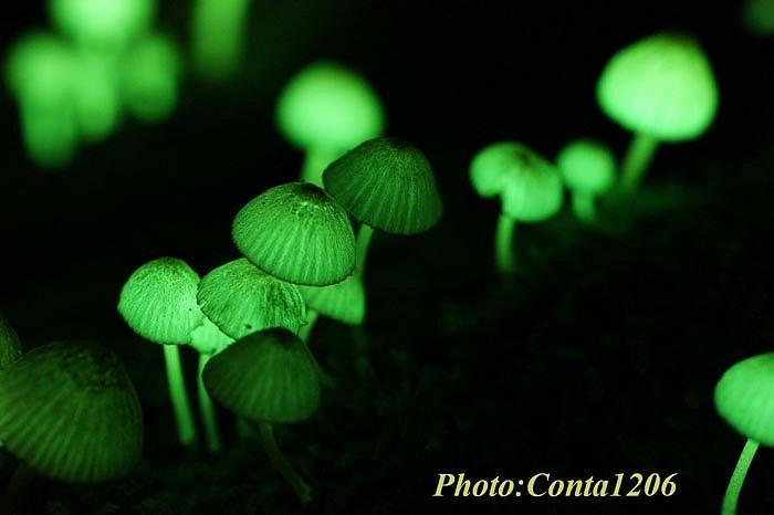 Nấm Wakayama được phát hiện ở Wakayama, Nhật Bản.. Thường mọc ở những nơi tăm tối đặc biệt là vào mùa mưa ẩm ướt.